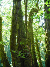 Photo: Moss-covered trees along the walk to Marymere Falls in Olympic National Park.