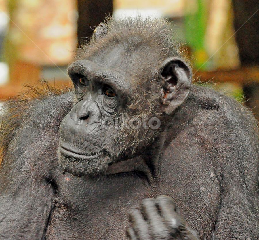 Simpanze by Cacang Effendi - Animals Other Mammals ( wild, cattery, chandra, safari, animal )