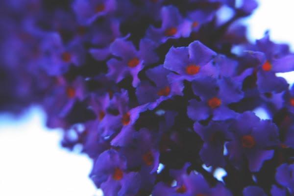 Viola su bianco di giada.pieroni