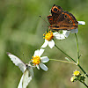 Great Southern White Butterfly and Mangrove Buckeye Butterfly