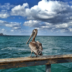 Lauderdale-by-the-sea Pelican by Ludwig Wagner - Instagram & Mobile iPhone