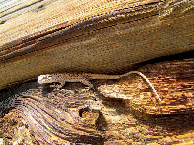 Lizard sunning on the side of the cabin