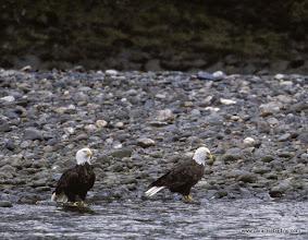 Photo: Bald Eagles, Skagit River, Washington