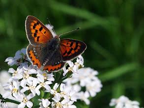 Photo: Der Kleine Feuerfalter (Lycaena phlaeas)  ist ein Schmetterling (Tagfalter) aus der Familie der Bläulinge (Lycaenidae).