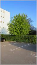 Photo: Artar American (Acer negundo) - de pe Str. Rapsodiei, zona parcare - 2017.04.18