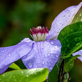 Raindrops on the Clematis by Ed Stines - Flowers Flower Gardens ( usa, nature, flower garden, petals, flower, purple flower, clematis, wilson, nc, plant, garden flowers, stamen, vine, bees,  )