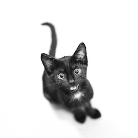Smiling Kato by Lan Andrian - Animals - Cats Kittens ( kato, cat, z6 )