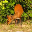 Barking deer or Indian muntjac