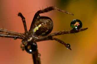 Photo: Juggling Spider