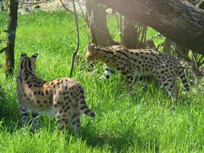 Sadji et Mosi, les servals