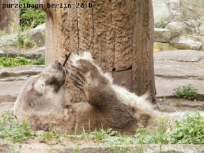 Photo: Knut widmet sich wieder dem Stoeckchen ;-)