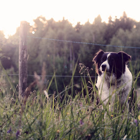 posing by Goran Gašparac - Animals - Dogs Portraits ( collie, zula, border collie, fense, grass, sunrays, sunspot, border, lens flare, sun )