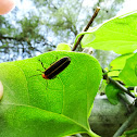 Firefly; light bug; lightning bug