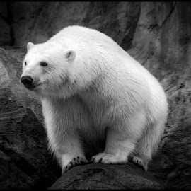Polar Bear by Dave Lipchen - Black & White Animals ( polar bear )