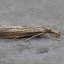 Vagabond Crambus Moth