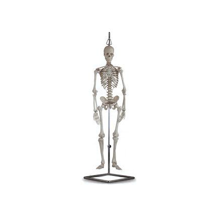 Skelett Anatomisk Halvmodell