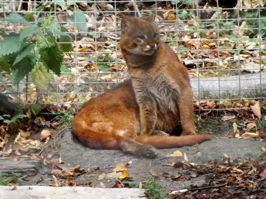 Jaguarondi, Parc des Félins - Tous droits réservés