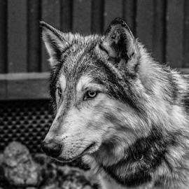 Yukon by Garry Chisholm - Black & White Animals ( nature, mammal, wolfdog, canid, ranua, finland, garry chisholm )