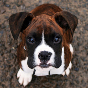 I am ready! by Annie Japaud - Animals - Dogs Portraits ( face, boxer puppy, puppy, looking up, dog, portrait )