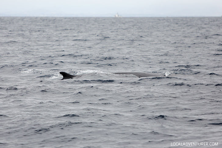 Fin Whale Dorsal Fin Sighting with Pacific Nature Tours.