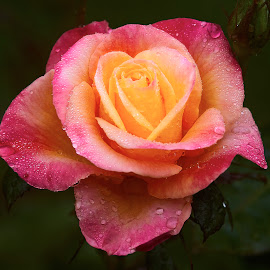 0 Rose 9896~ by Raphael RaCcoon - Flowers Single Flower