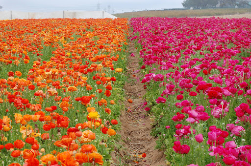 See buttercup ranunculus in different hues at the Flower Fields at Carlsbad Ranch near San Diego.