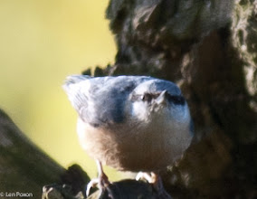 Photo: Nuthatch