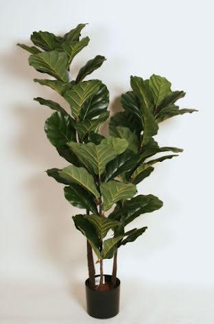 Fiddle Leave (Fiolfikus) - 140cm - 180cm
