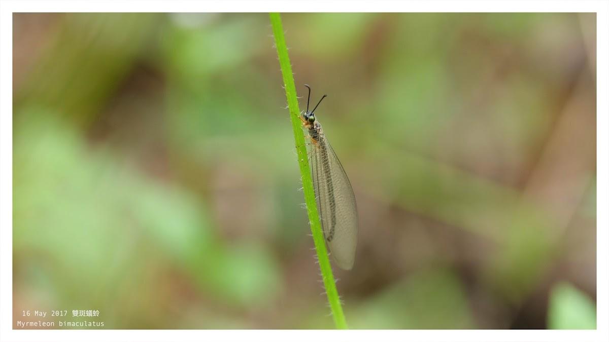 Myrmeleon bimaculatus 雙斑蟻蛉