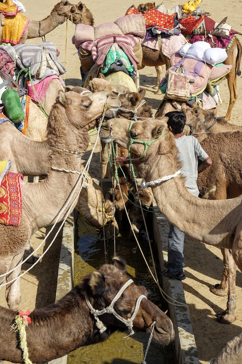 India. Rajasthan Thar Desert Camel Trek. Camels by the watering hole