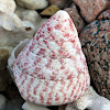 Red Spotted Top Shell