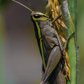 Grasshopper  by Bishal Ranamagar - Animals Insects & Spiders ( spiders, nature, insects, grasshopper, animal, nepal,  )