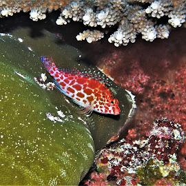 by Phil Bear - Animals Fish ( reef, coral, fish, coral reef, maldives, hawkfish )