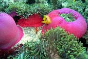 Photo: Anémones magnifiques à Kani