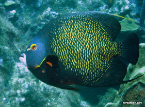 Photo: French Angelfish, adult stage