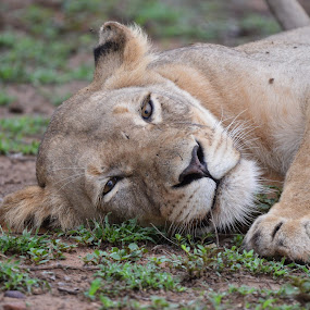 Resting on the ground by Charmane Baleiza - Animals Lions, Tigers & Big Cats ( crocodile bridge, kruger national park, resting, lioness, leo, south africa, panthera leo, hippo pools, lion, wildlife )