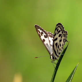 Common Pierrot  by Sanjib Laha - Animals Insects & Spiders