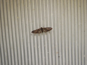 Photo: Priorslee Lake The rather worn Brindled Pug, one of two present this morning, was on the light cover. (Ed Wilson)