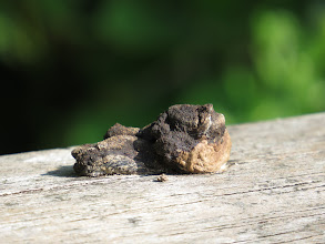 Photo: 17 Jul 13 Priorslee Lake Help: he's taking dung pictures now! Well this was on the hand-rail of the Wesley Brook footbridge. Is it an otter spraint? Much too dried out and (rock) hard to take a smell, but ... what else? Sadly I think Mink is more likely due to the twist in the spraint? (Ed Wilson)
