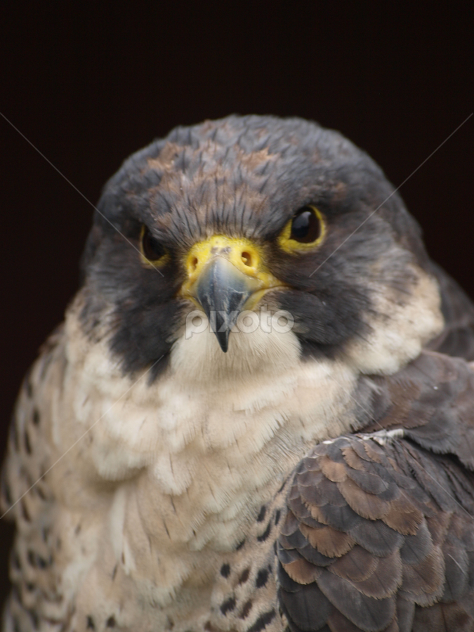 Peregrine 2 by Garry Chisholm - Animals Birds ( garry chisholm, bird of prey, falcon, kestrel, hawk )