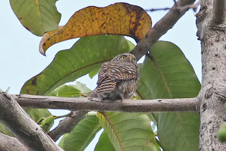 Photo: Collared Owlet