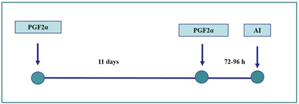 Esquema de sincronización del estro basado en la inducción de la luteólisis: doble inyección de PGF2α. Las búfalas pueden inseminarse a las 72 y 96 horas después de la segunda inyección de prostaglandina.