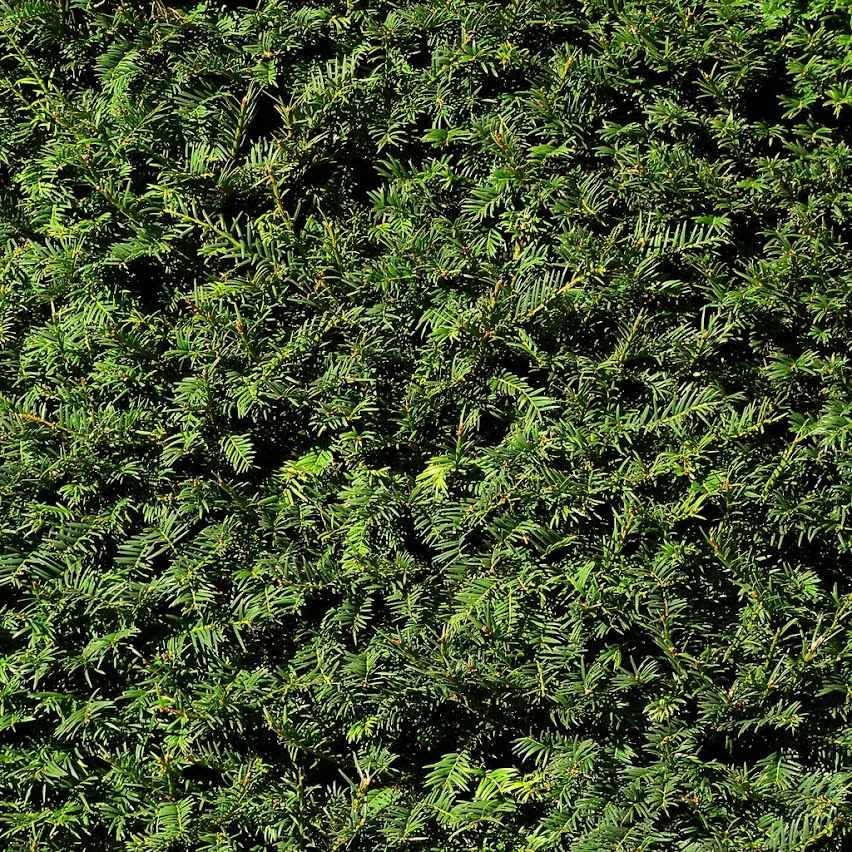 Yew Hedge of Evergreen Shrubs