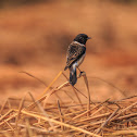 Common stone chat