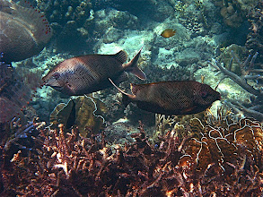 Photo: a pair of starry rabbitfish