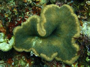Photo: Cryptodendrum adhaesivum (Adhesive Anemone), and Porcelain Crab, Siquijor