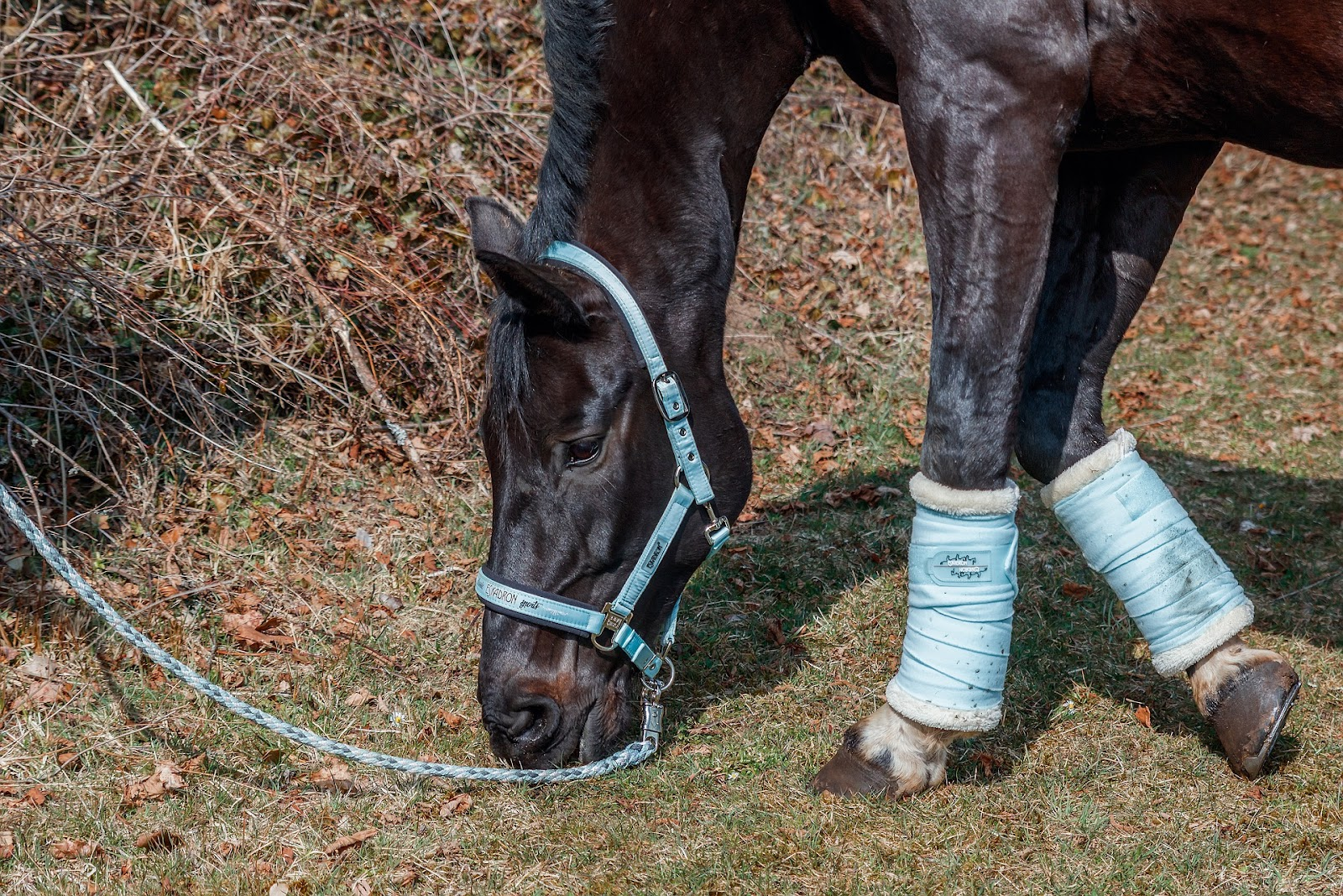 Dark bay show horse with blue wraps is hand grazed