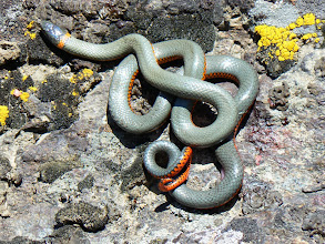Photo: Ring-neck Snake - M. White