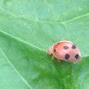 southern squash lady beetle