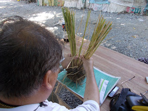Photo: Doc Joey counts the typical number of tillers per plant: 20.